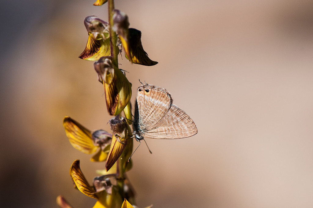 Pea Blue or Long-tailed Blue (Lampides boeticus)