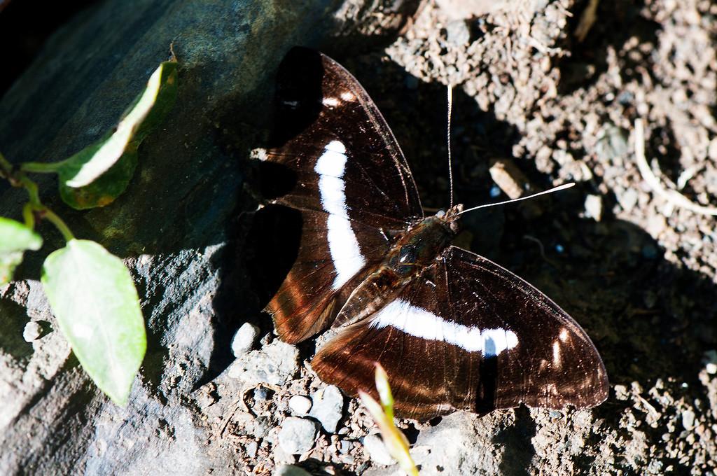 Staff Sergeant (Athyma selenophora laela) male