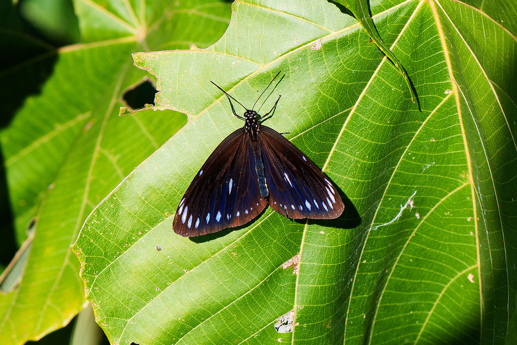 Blue-branded King Crow (Euploea eunice hobsoni)