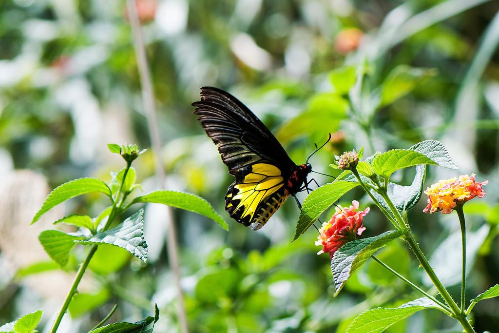 Golden Birdwing (Troides aeacus formosanus)