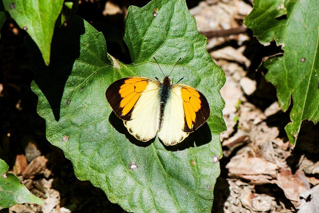Yellow Orange Tip (Ixias pyrene insignis)