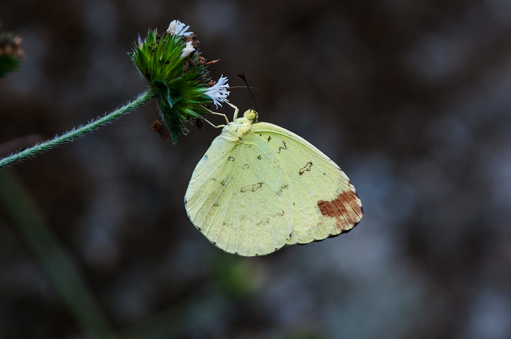 Three-spot Grass Yellow (Eurema blanda arsakia) female