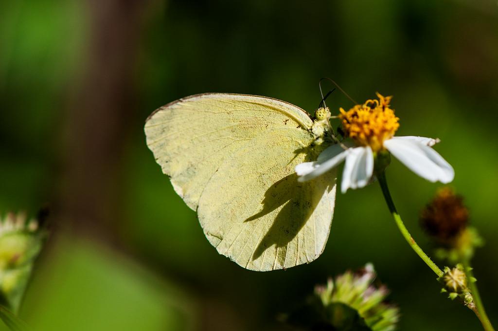 Scalloped Grass Yellow (Eurema alitha esakii) male