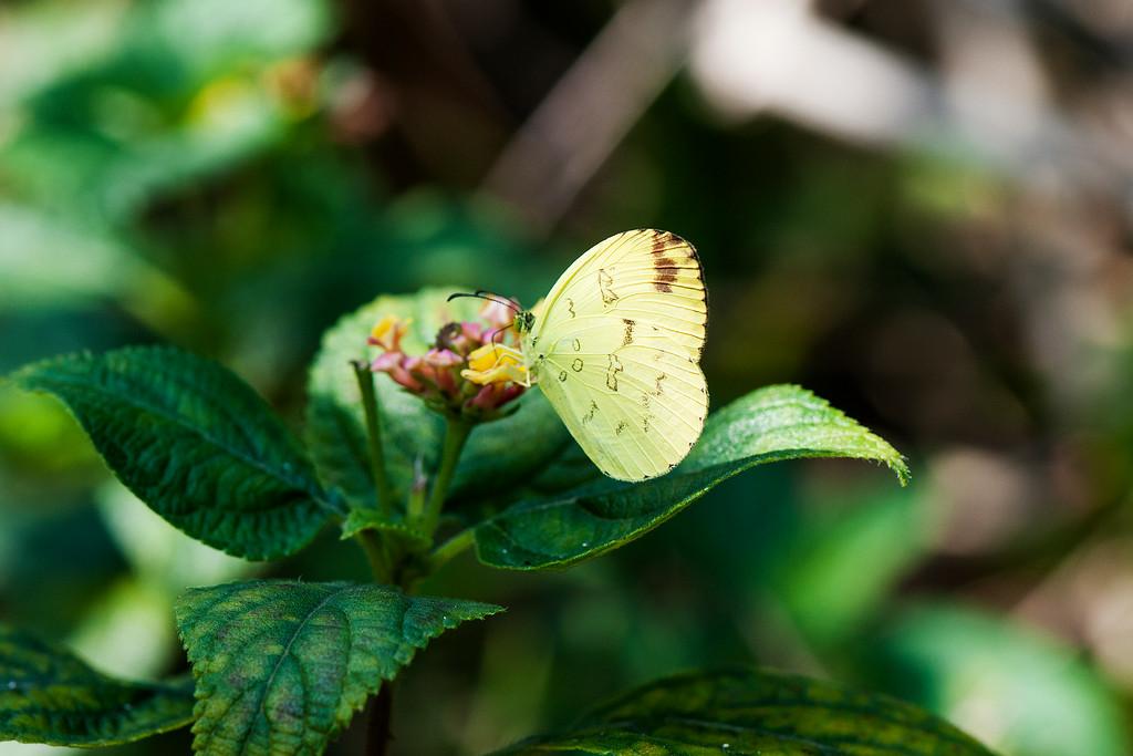 One-spot Grass Yellow (Eurema andersoni godana) female