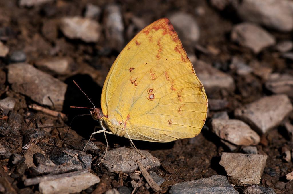 Female Lemon Emigrant (Catopsilia pomona pomona)