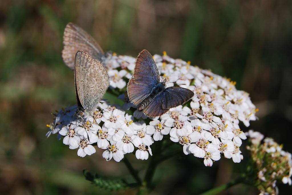 Common Grass Blue (Zizina labradus)