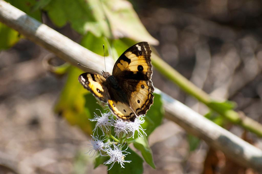 Yellow Pansy (Junonia hierta hierta)