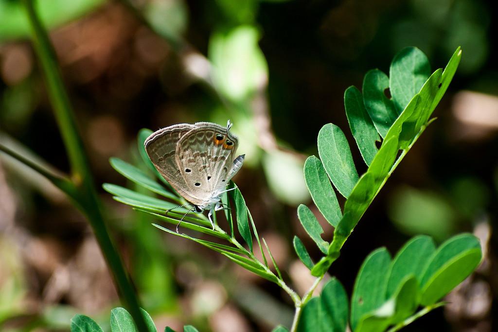 Gram Blue (Euchrysops cnejus cnejus)