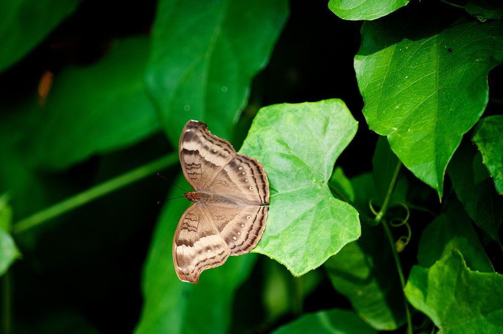 Chocolate Pansy (Junonia iphita iphita)