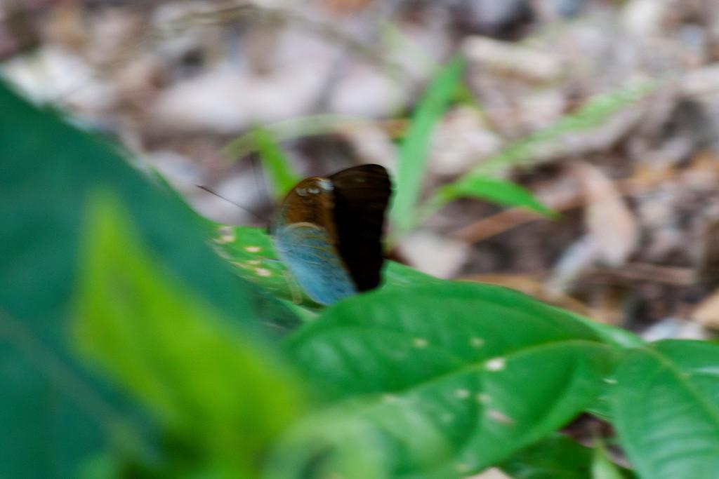 Common Earl (Tanaecia julii mansori)