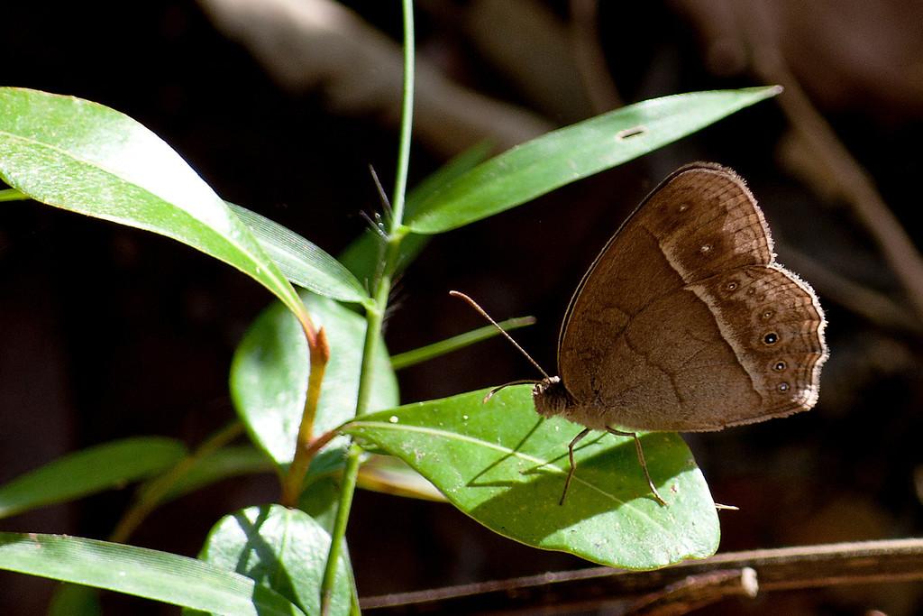 Intermediate Bushbrown (Mycalesis intermedia)
