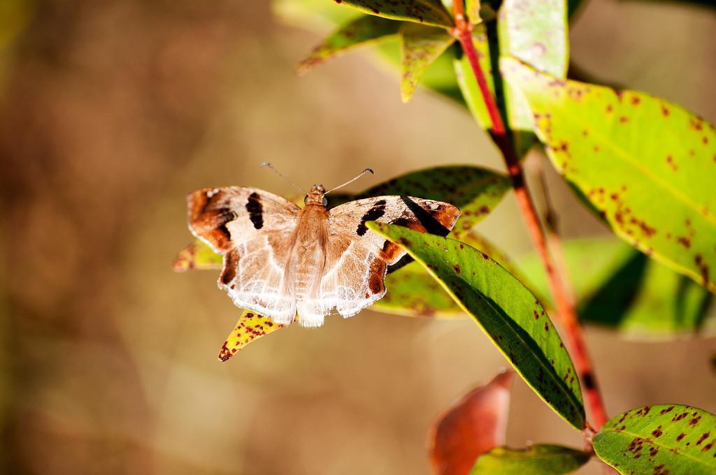 Chestnut Angle (Odontoptilum angulatum angulaatum)