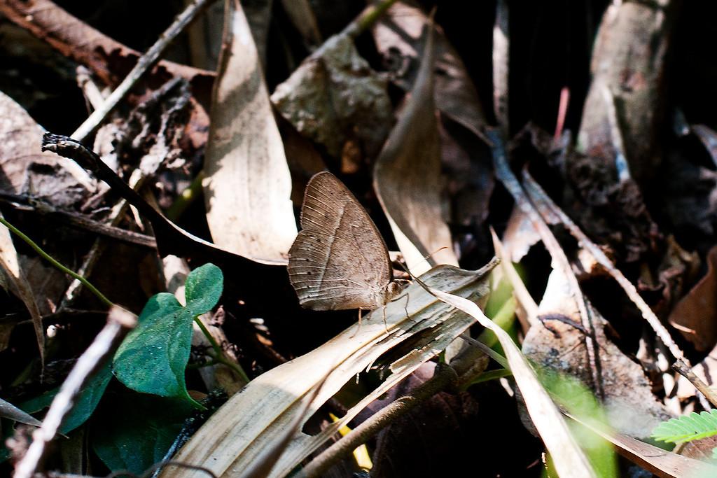 Cyclops Bushbrown (Mycalesis mnasicles perna)