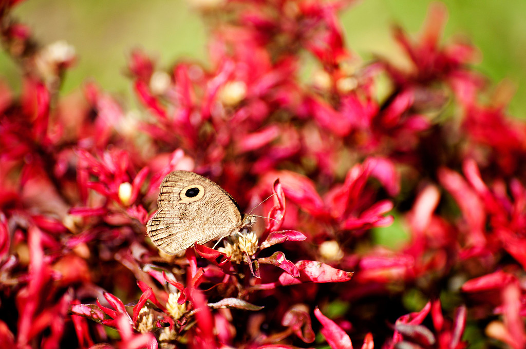 Singor Fivering (Ypthima singorensis singorensis)