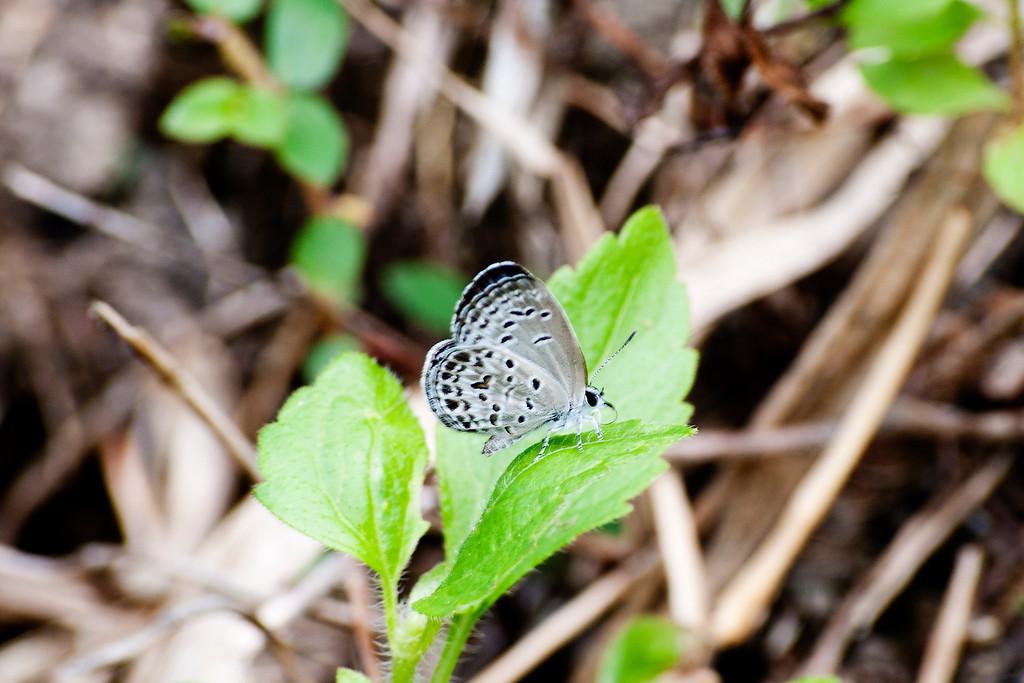 Lime Blue (Chilades lajus tavoyanus)
