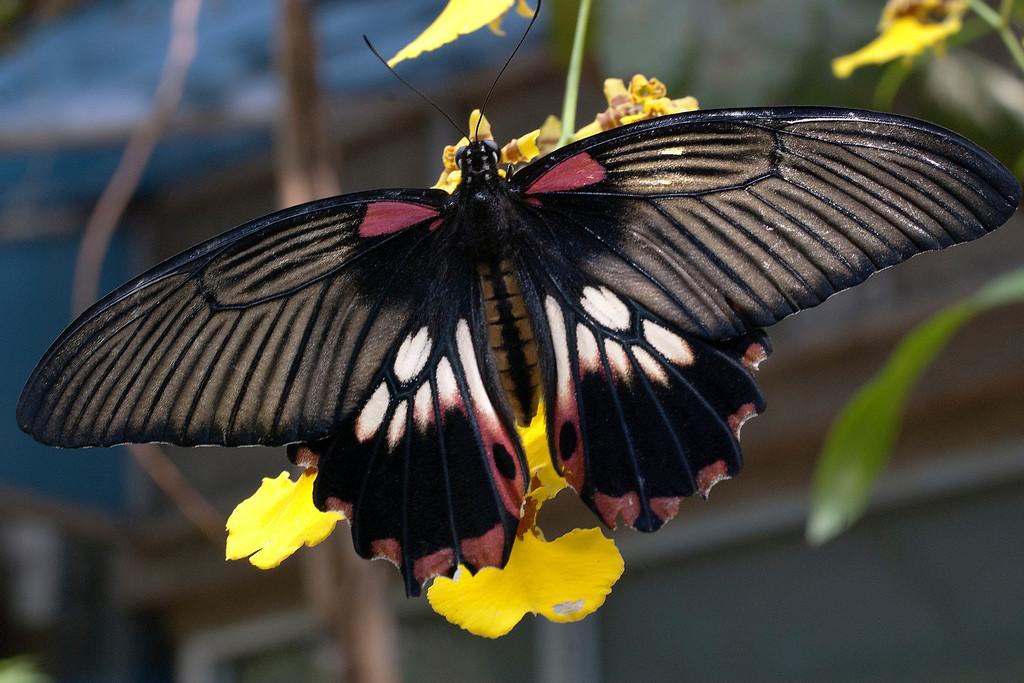 Great Mormon (Papilio memnon agenor)
