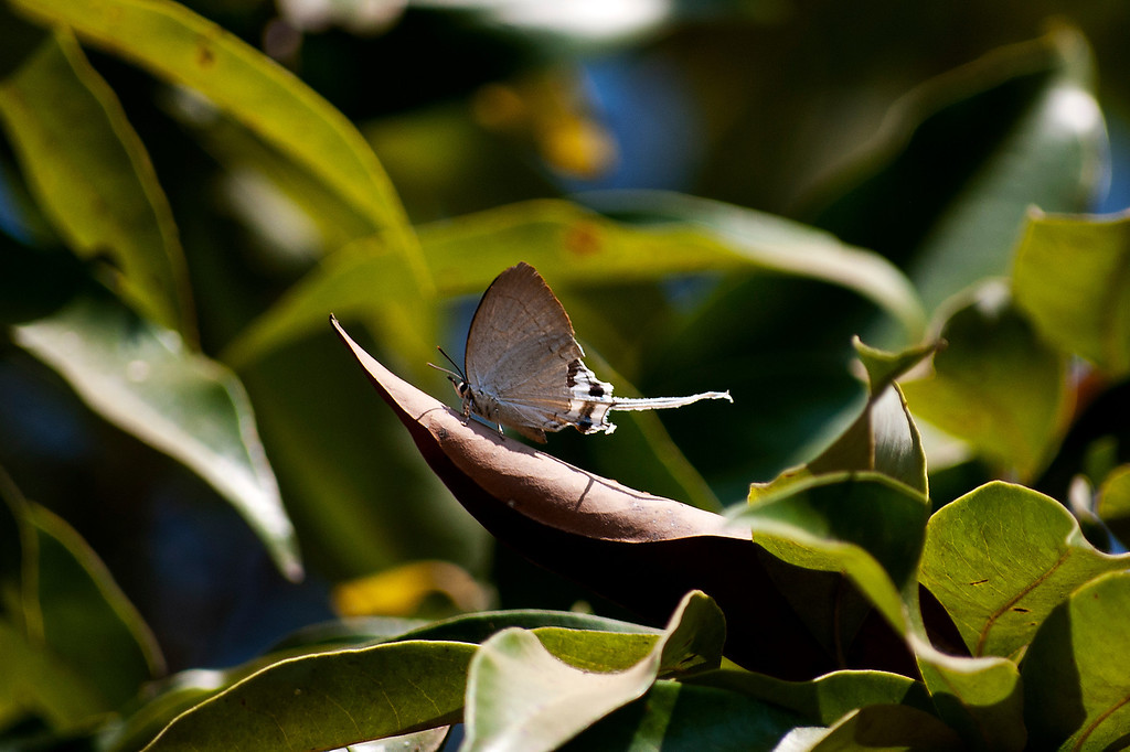 Common Imperial (Cheritra freja freja)