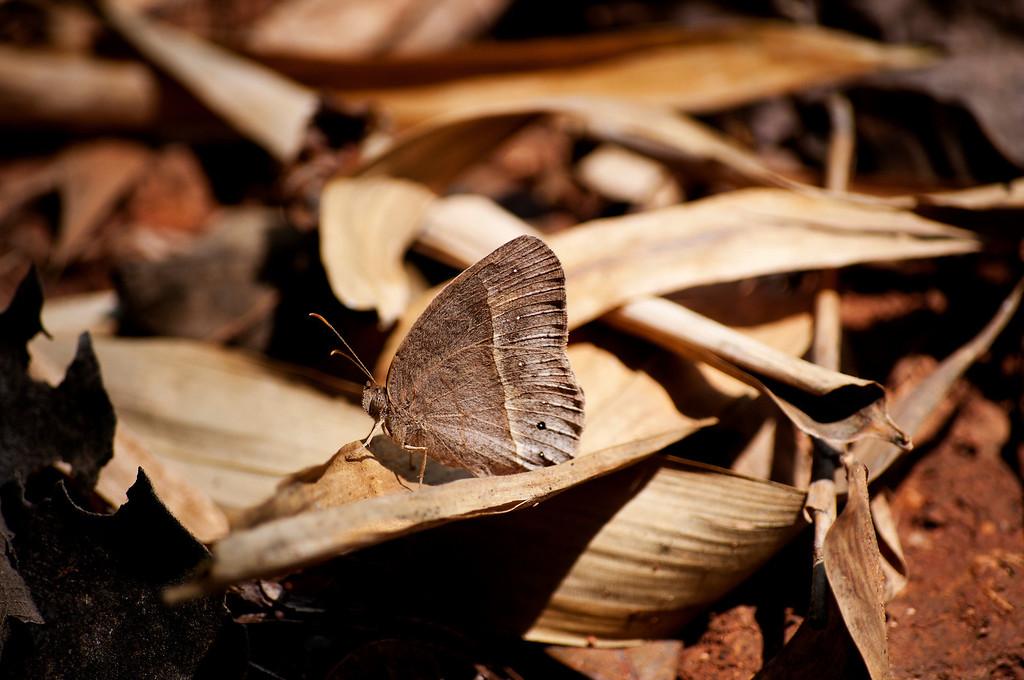 Annam Bushbrown (Mycalesis annamitica annamitica)