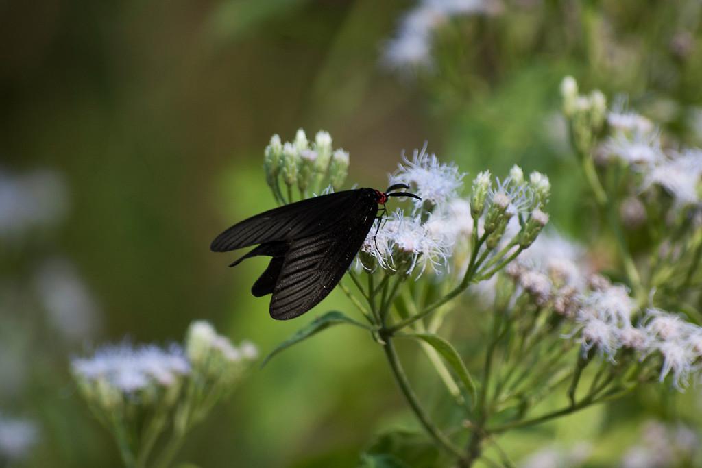 Buttler Moth (Histia flabellicornis cometaris)