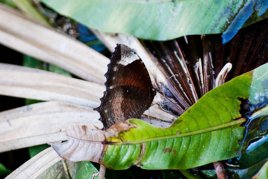 Common Palmfly (Elymnias hypermnestra meridionalis)