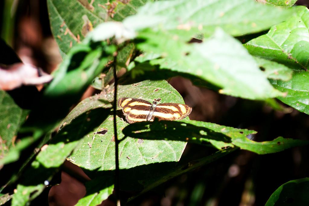 Burmese Lascar (Lasippa tiga siaka)