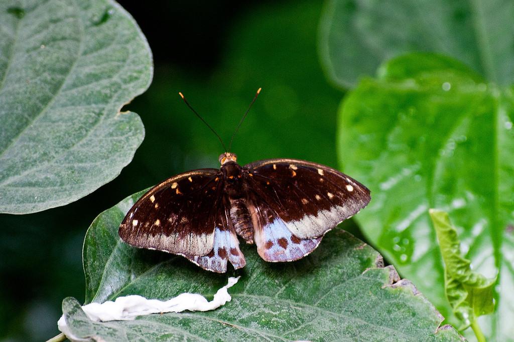 Common Archduke (Lexias pardalis jadeitina)