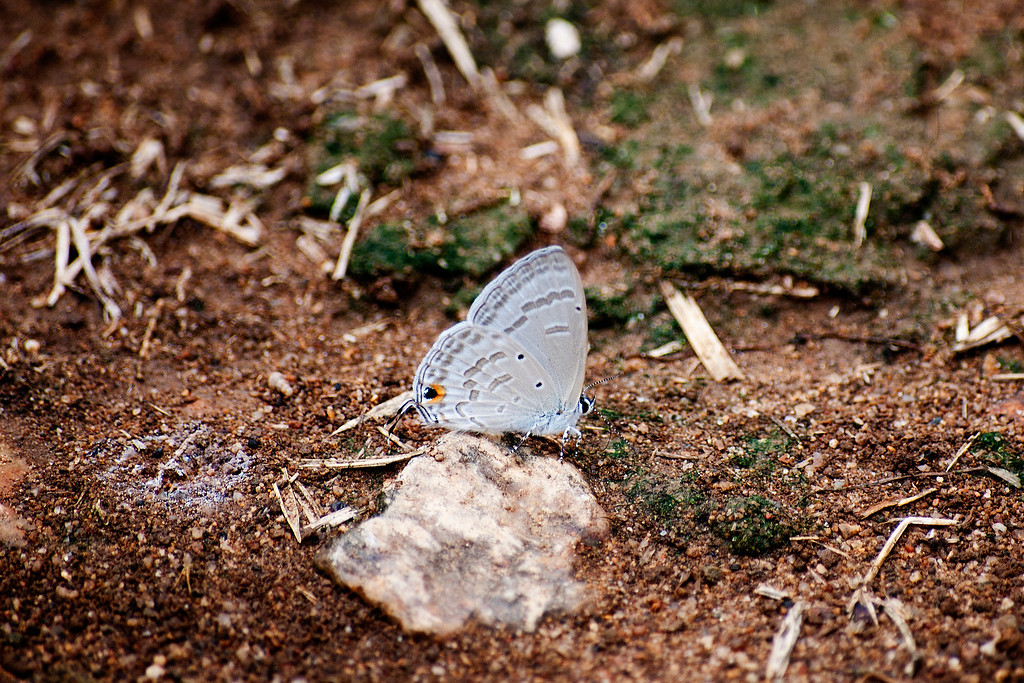 Silver Forget-me-not (Catochrysops panormus exiguous)