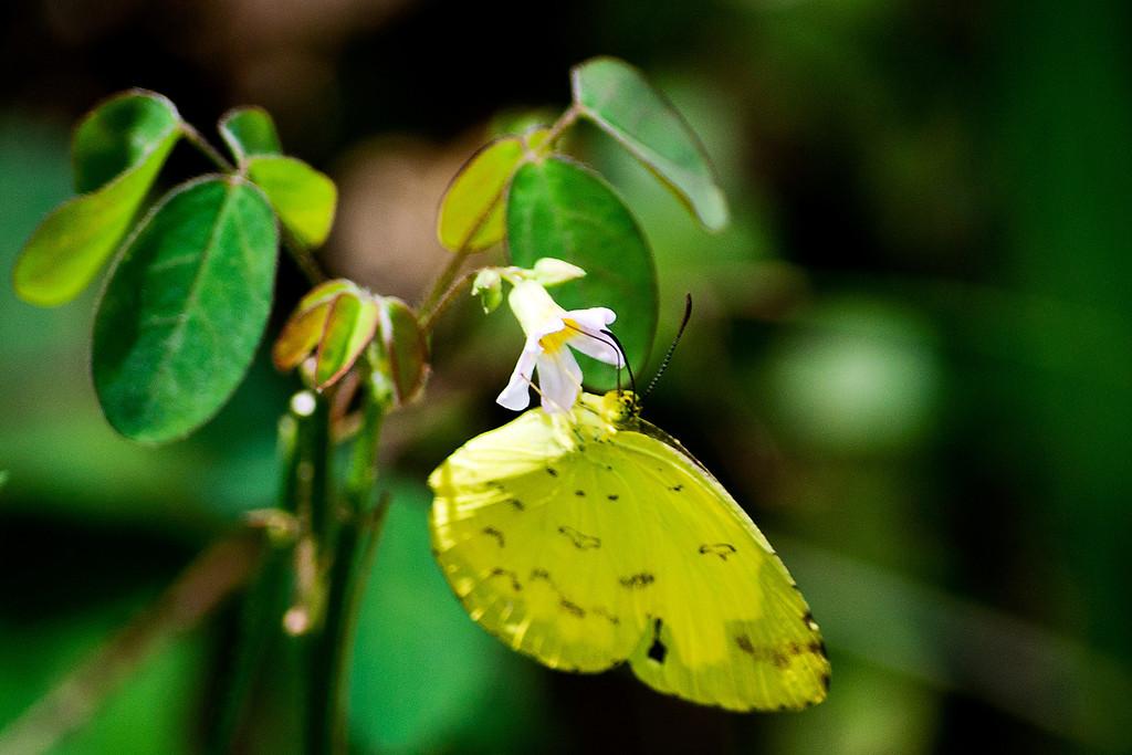 Anderson's Grass Yellow (Eurema andersoni andersoni)