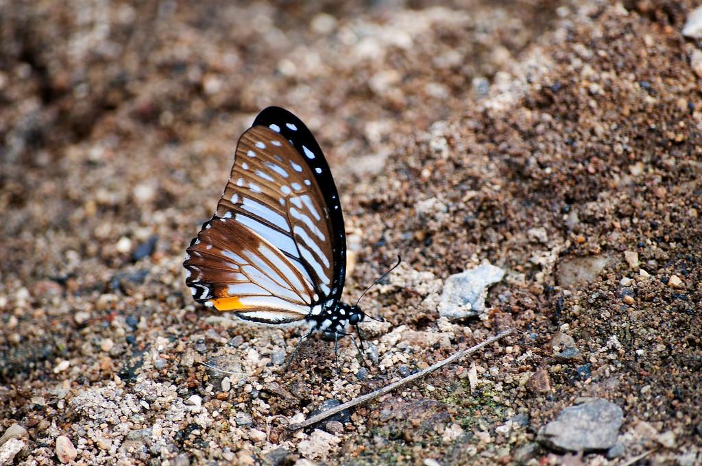 Great Zebra (Graphium xenocles kephisos)