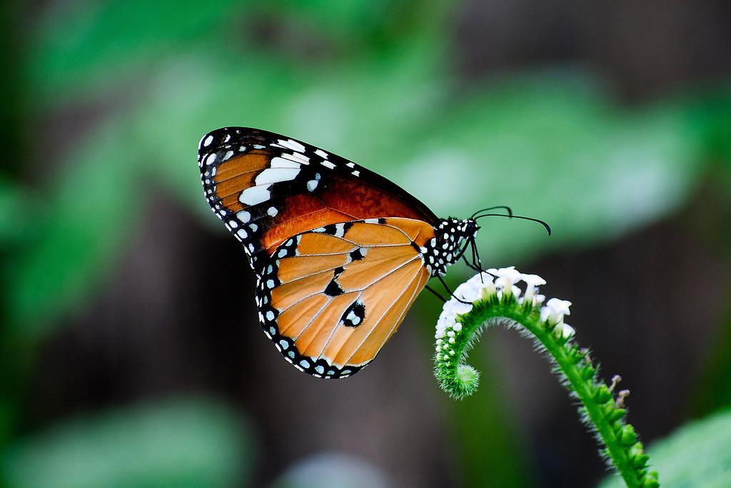 Plain Tiger (Danaus chrysippus chrysippus)