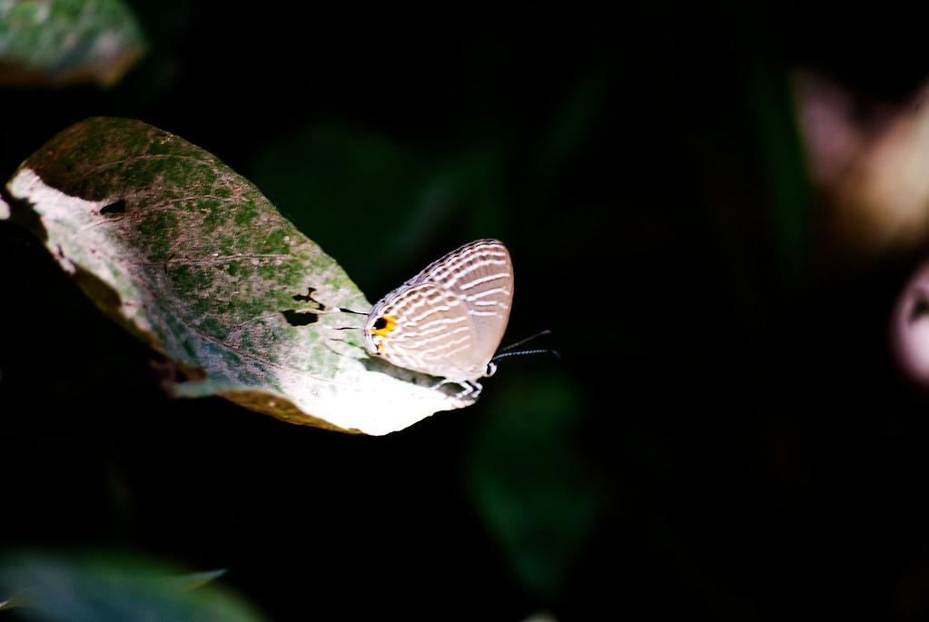 White Cerulean (Jamides pura pura)