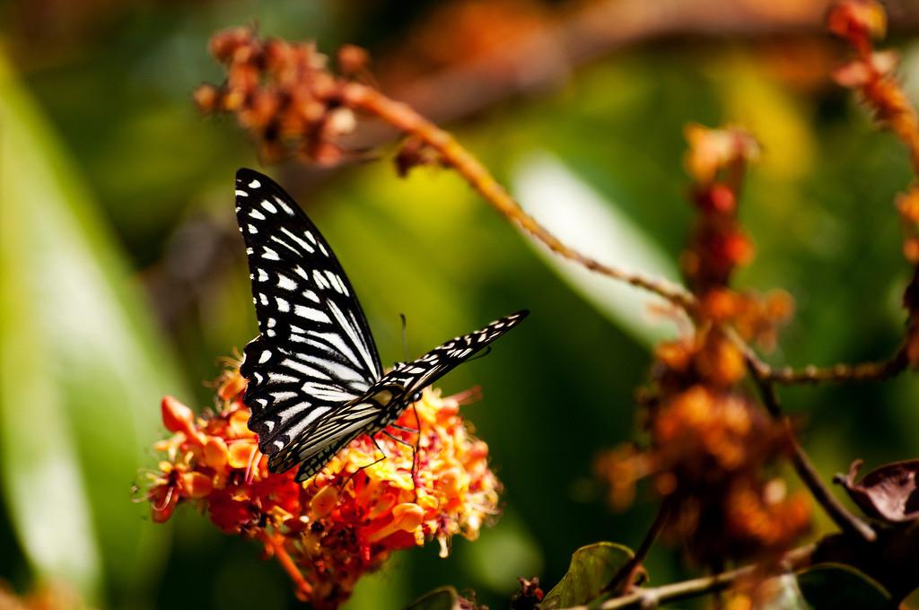 Common Mime (Papilio clytia clytia)