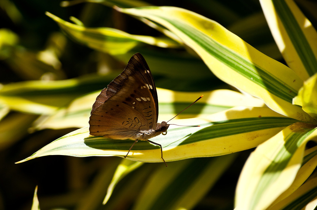 Mango Baron (Euthalia aconthea garuda)