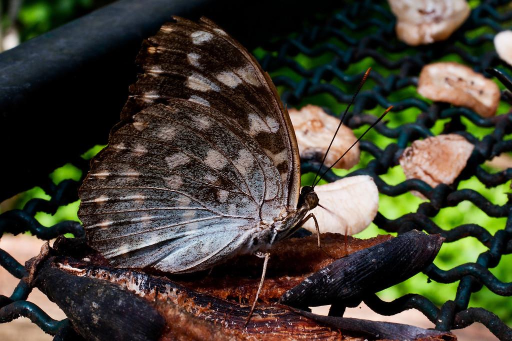Common Archduke (Lexias pardalis dirteana)