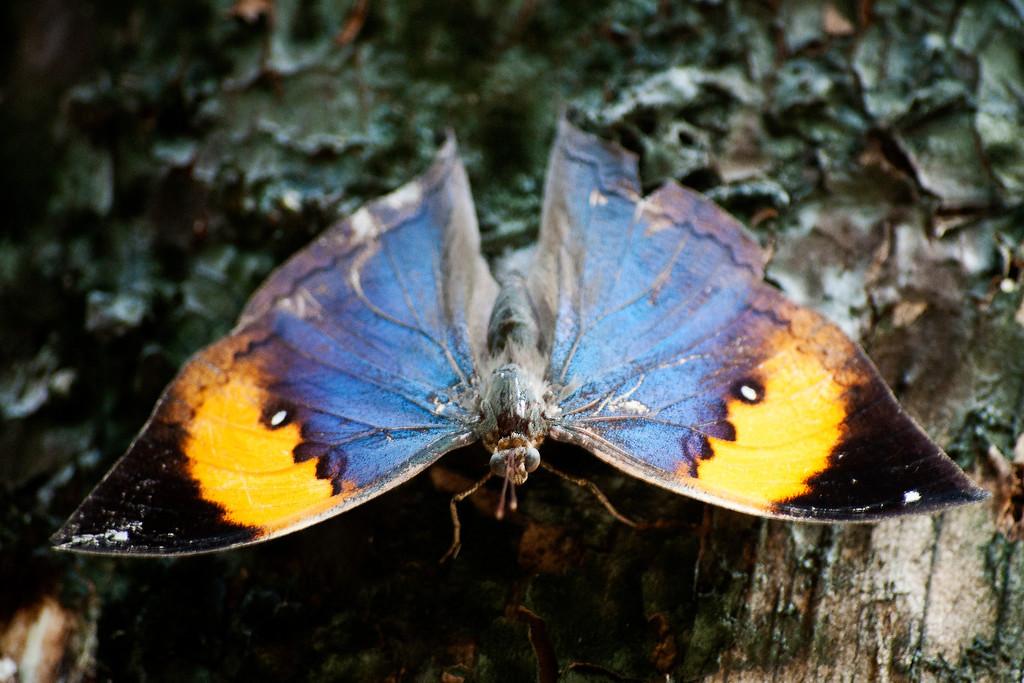 Indian Leaf Butterfly or Orange Oakleaf (Kallima inachus siamensis)