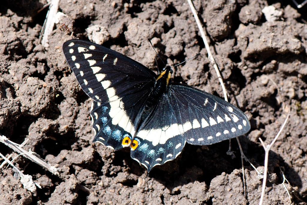 Indra Swallowtail (Papilio indra indra)