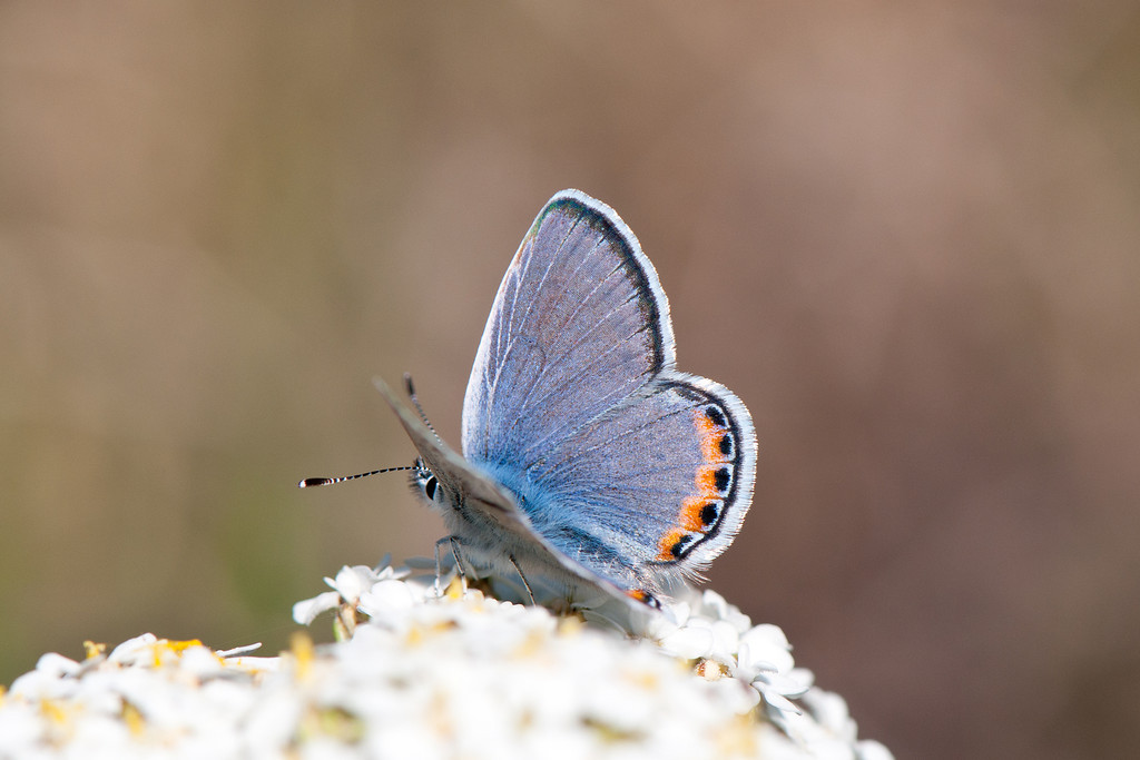 Acmon Blue (Icaricia acmon lutzi)