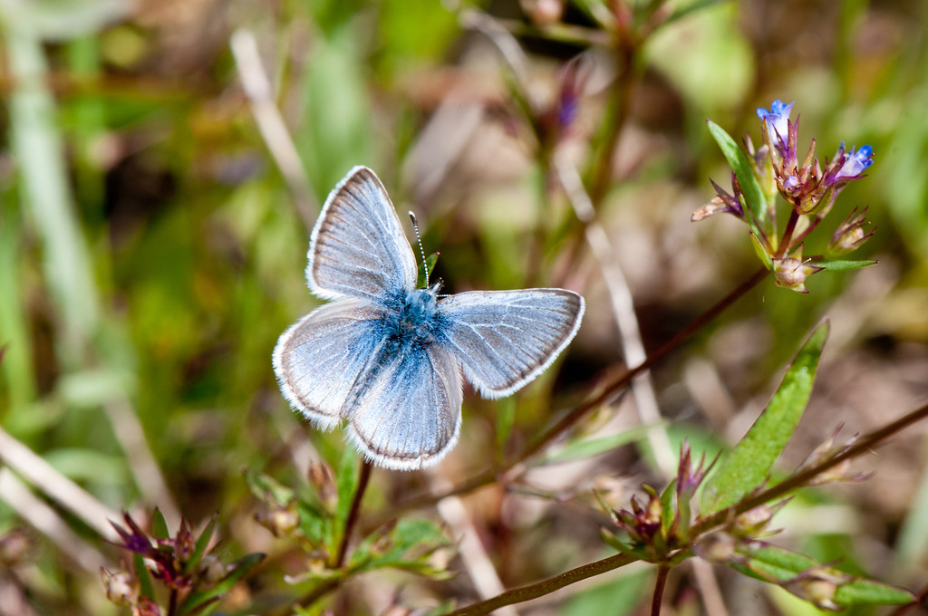 Columbia Blue (Glaucopsyche lygdamus columbia)