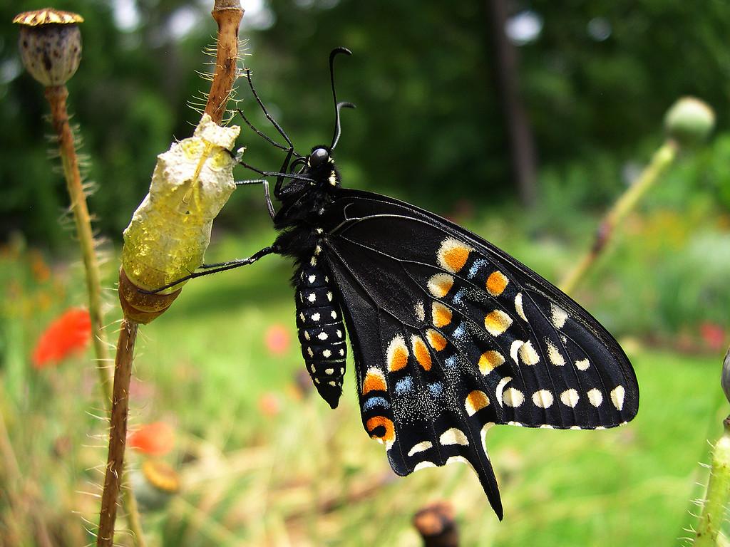 Eastern Black Swallowtail (Papilio polyxenes asterius)