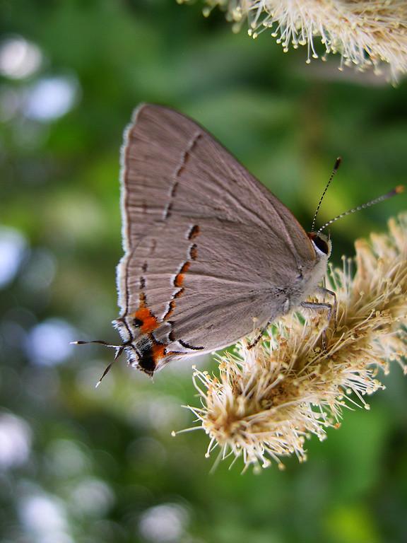 Gray Hairstreak (Strymon melinus franki)
