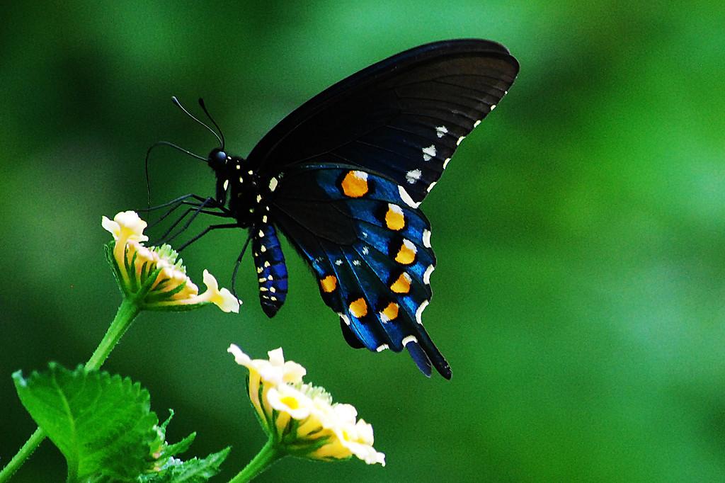Pipevine Swallowtail (Battus philenor philenor)