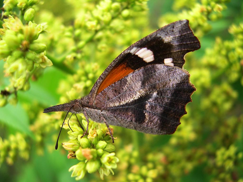 American Snout (Libytheana carinenta bachmanii)
