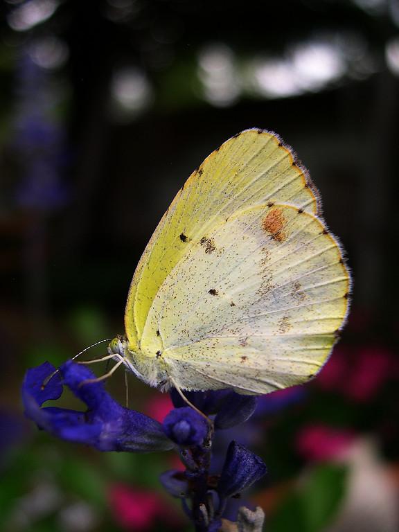 Little Yellow (Eurema Pyrisitia lisa lisa)