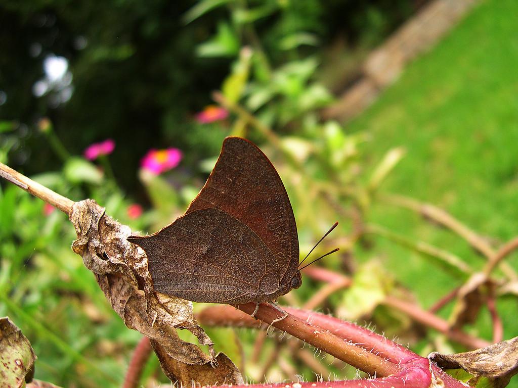 Goatweed Leafwing (Anaea andria)