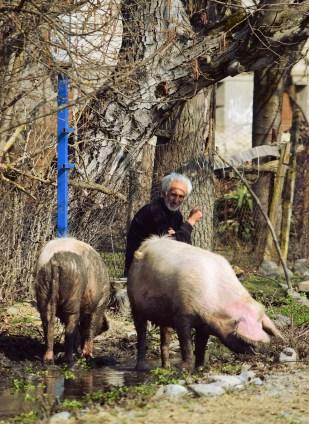 Pigs in Apeni