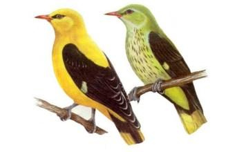 Иволга зелёная и жёлтая