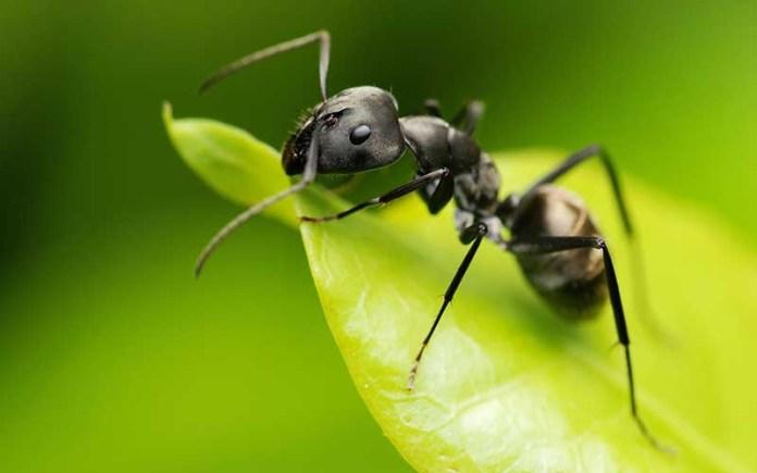 Великая муравьиная битва