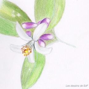 dessin de fleur d'oranger