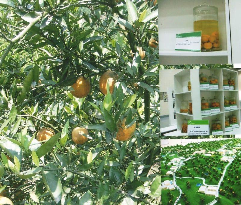 Orangers du Sichuan