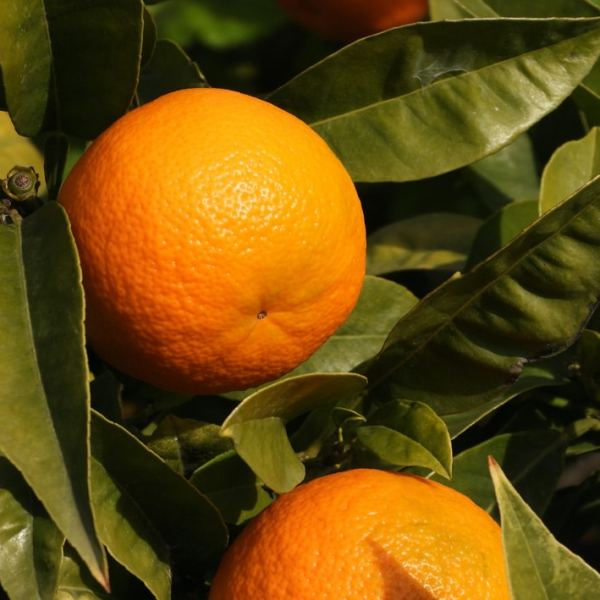 photos avec 2 oranges mûres sur l'arbre